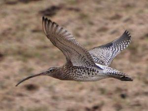 curlew-flying01ll
